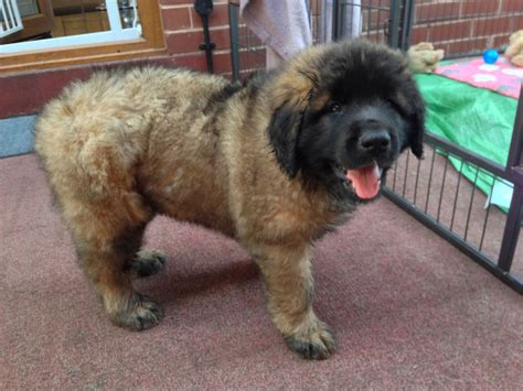 leonberger puppies for adoption leonberger puppies worksop nottinghamshire pets4homes