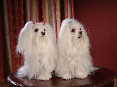 pictures of maltese dogs dogs images maltese dogs wallpaper wallpaper photos 13937365