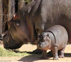 national zoos 23 year old przewalskis horse rolles dead worldnews baby hippo jumps out of the water like a dolphin in
