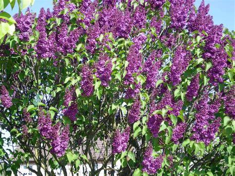 purple flowering shrubs australia flowers and flowering trees moments