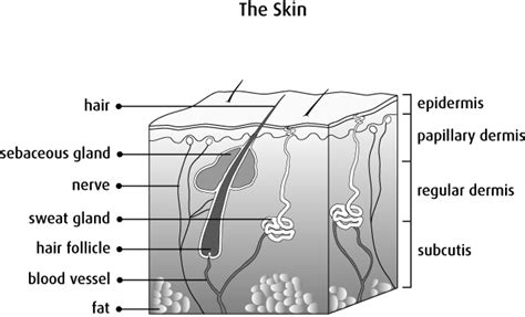 skin section diagram what is melanoma canadian cancer society