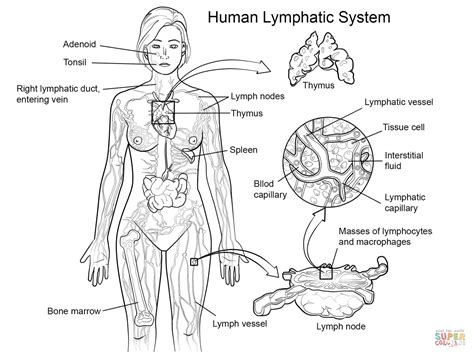 Lymphatic System Worksheet by Lymphatic System Worksheet Lesupercoin Printables Worksheets