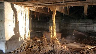 termites   termite identification ortho