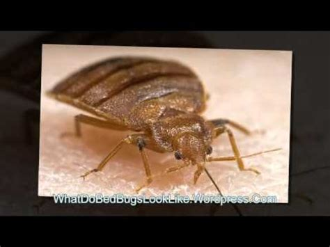 how do bed bugs look what do bed bugs look like youtube