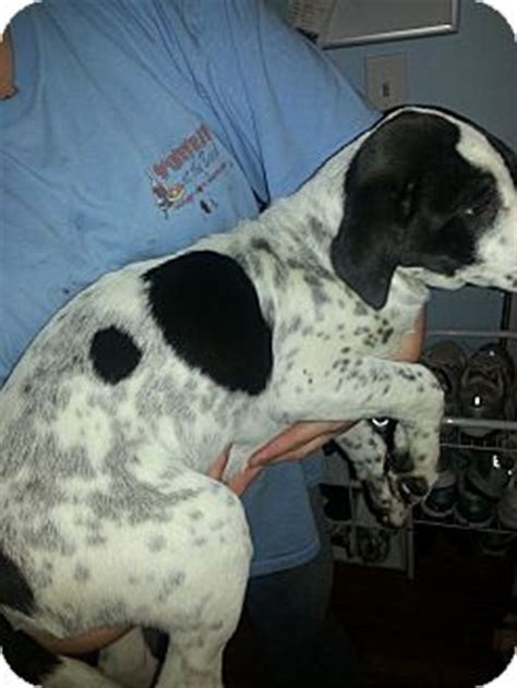 english setter boxer mix www pixshark com images sonny adopted puppy jarrettsville md english setter
