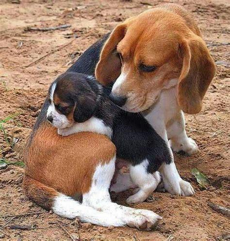 corgi beagle wlkm radio 95 kaufmann s puppy beagle