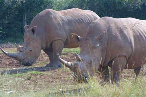 imagenes rinoceronte blanco el rinoceronte blanco al borde de la extinci 243 n