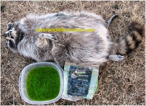 kills raccoon frequently asked questions humane wildlife oklahoma the skunk whisperer way