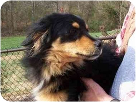 australian shepherd pomeranian mix for adoption crewes adopted fanwood nj pomeranian australian shepherd mix