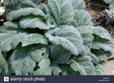 silver sage silver sage plant salvia argentea quot hobbits foot stock