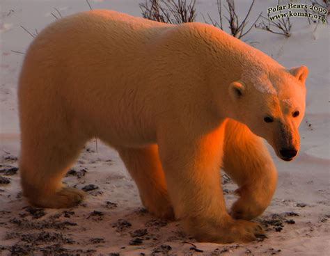 bears of color polar pictures cool