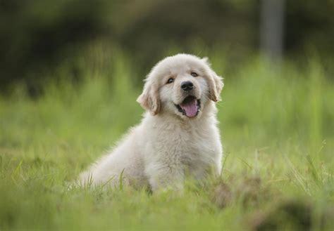 list of golden retriever breeders golden retrievers puppies for sale national city puppy