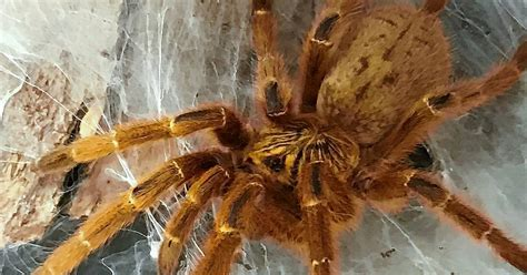amazing arachnids spins  web  summer  brookfield zoo