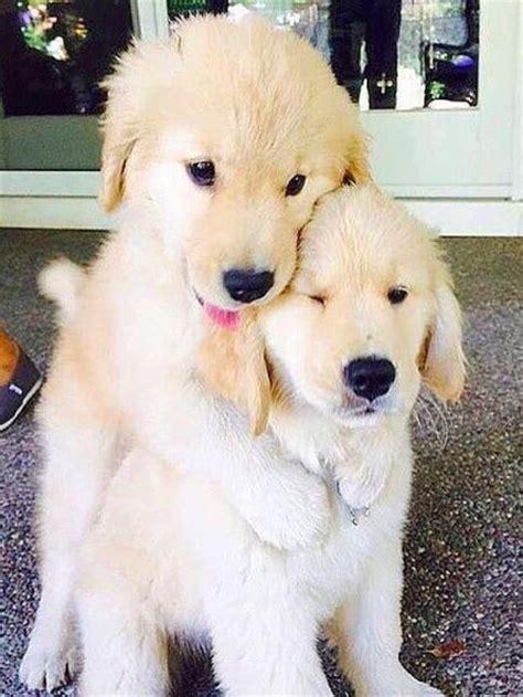 puppy c friends golden retriever puppies dogs pets animals el reino animal