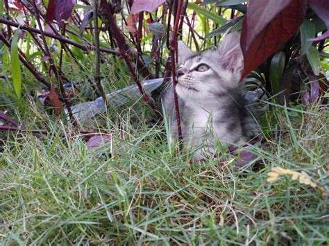 Suplemen Kucing order suplement kucing kakchah jelita pengedar aloe vera