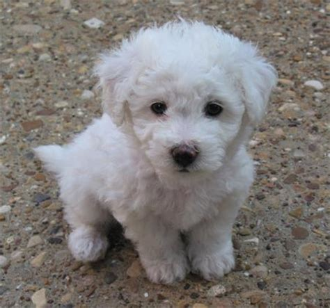 Does A Bichon Frise Shed by Gledwood Vol 2 December 2009