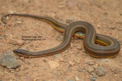 Water Snake by Rainbow Water Snake Enhydris Enhydris