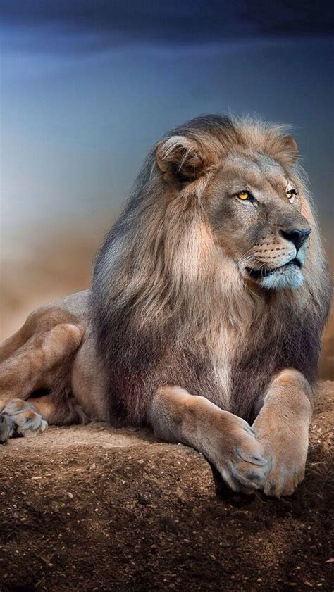 wallpaper for iphone lion lion iphone wallpaper background iphone wallpaper