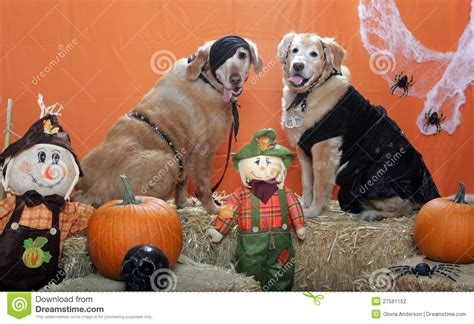 golden retriever dressed up golden retrievers dressed up for stock photography image 27581152