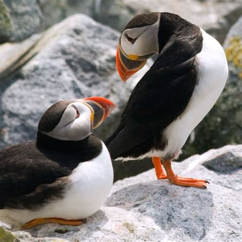 19 best images about puffins on pinterest iceland