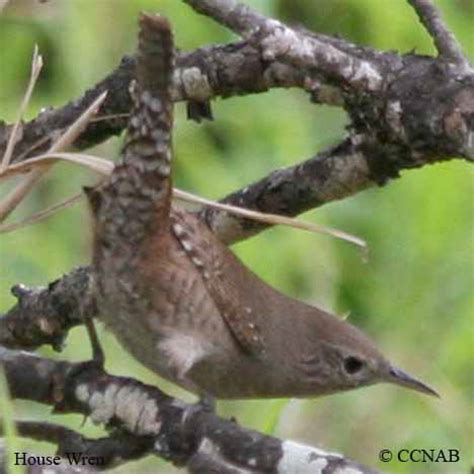 house wren north american birds birds of north america