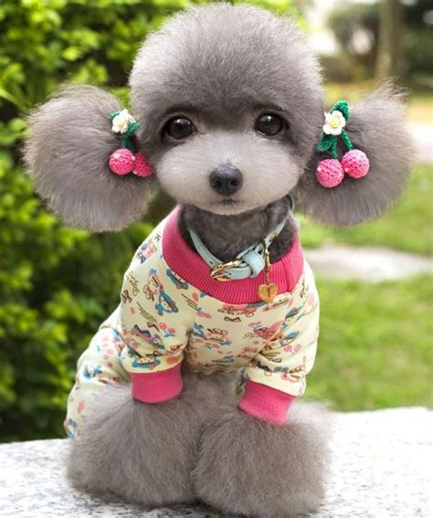 asian cuts for dogs 140 best asian dog grooming images on pinterest dog
