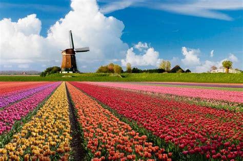 fiori olanda un viaggio di primavera nei paesi bassi tra mulini a