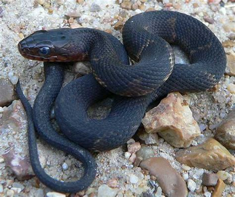 Mba Reptiles by Snakes List Of Snakes In Missouri
