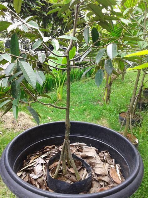 Bibit Durian Bawor Kaki 5 jual bibit durian bawor kaki 4 bhinneka monthong