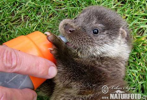 otters animals hamster