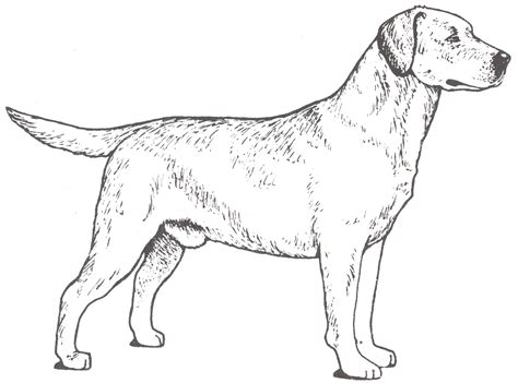 free coloring pages of labrador retriever