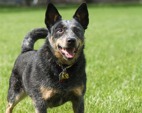 most trainable dogs related keywords suggestions for most trainable breeds