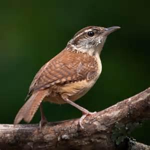 south carolina state bird flickr photo sharing
