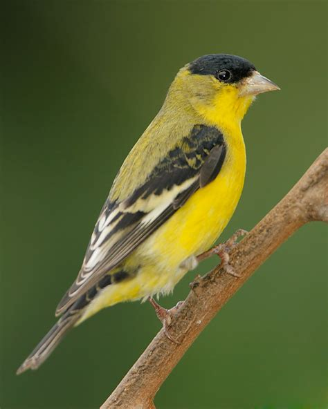 lesser goldfinch 1
