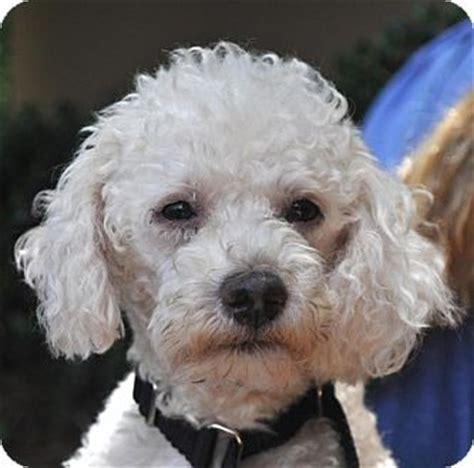 small rescue atlanta atlanta ga poodle miniature mix meet prince a for adoption