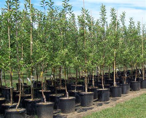 fruit tree nursery oregon selecting healthy trees in bend oregon arbor 1 tree service