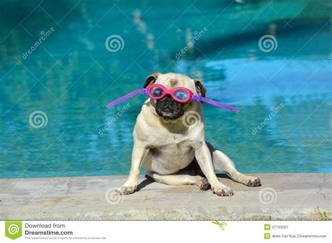 pug summer summer pug royalty free stock photography image 37703567