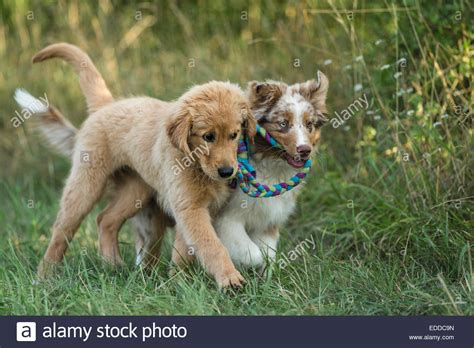 golden retriever australian shepherd puppies puppy australian shepherd and a golden retriever stock photo image breeds picture