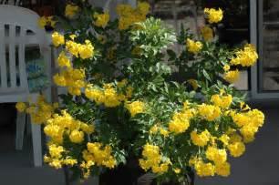 yellow bells by tranottoc photo weather underground