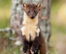 1000 images about pine martens on pinterest pine martin o malley