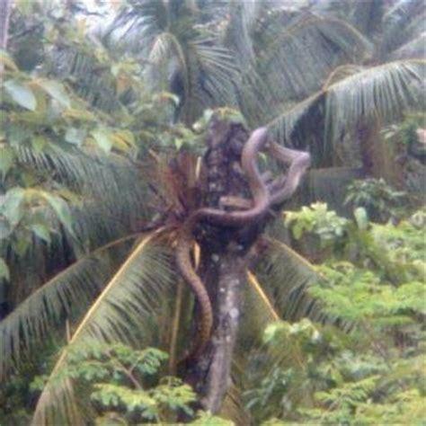 film anaconda syuting di kalimantan muzaffarmus ular anaconda ini dakwa di lebuhraya pantai
