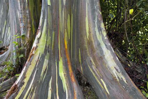 rainbow tree rainbow eucalyptus tree learn about rainbow eucalyptus