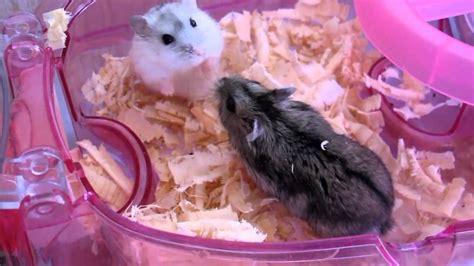 8 Documentaries Im About by カップル 大喧嘩 ジャンガリアン ハムスター Large Quarrel Hamster
