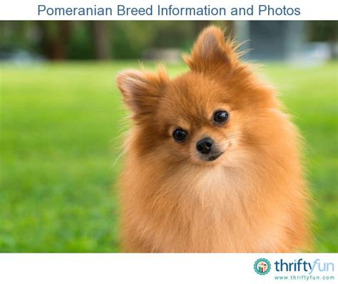 info on pomeranians pomeranian breed information and photos thriftyfun