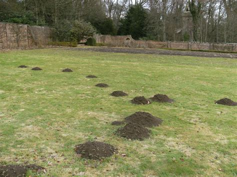 moles in backyard mole control budget pest control pittsburgh pa