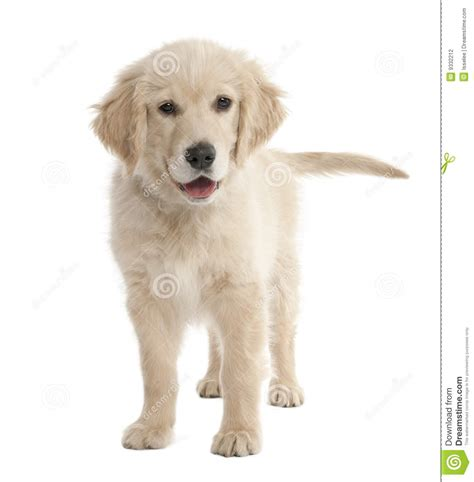 4 month puppy puppy labrador 4 months stock photography image 9332212