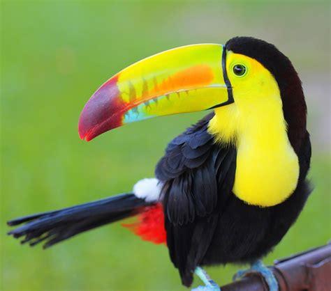 beautiful birds phots toucan bird pics desktop free hd wallpapers