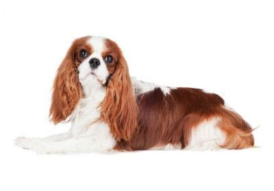 calmest breeds 417 best images about cavalier king charles spaniel on puppys spaniels