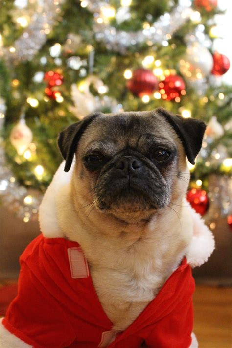 pug merry merry from nickie the pug about pug