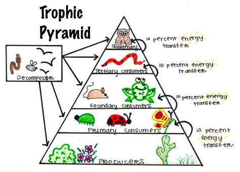 trophic level diagram image gallery ecological pyramids